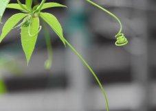 悬在房檐上的蔓草