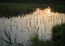 朝阳反射的水田