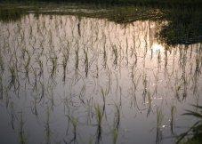 照射着柔和光芒的稻田水镜