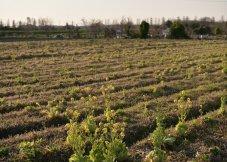 在闲置的田地里培育的油菜花