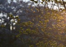 夕阳映照下的新绿叶子