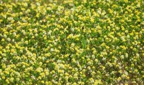 生长在河滩上的珊瑚草